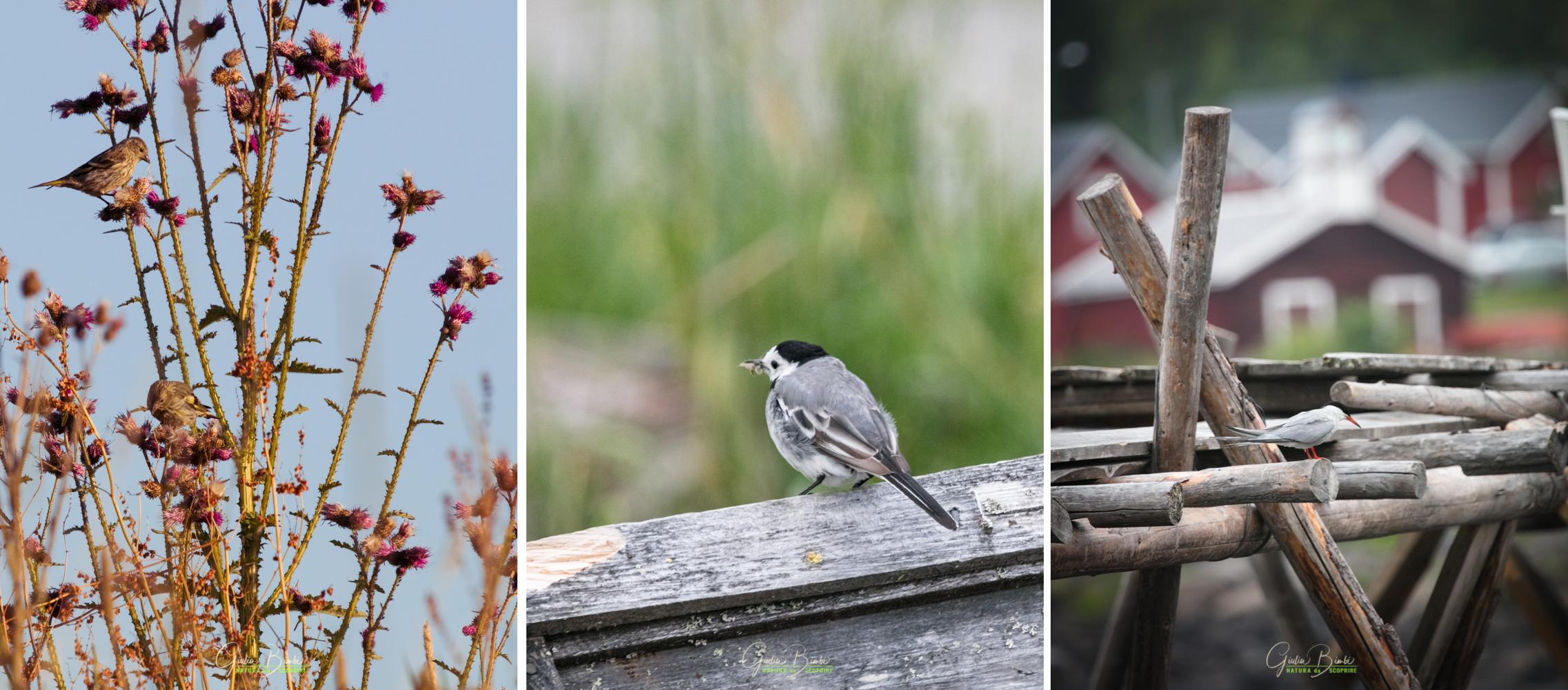 Viaggio di biowatching in Lapponia - Il risveglio della natura