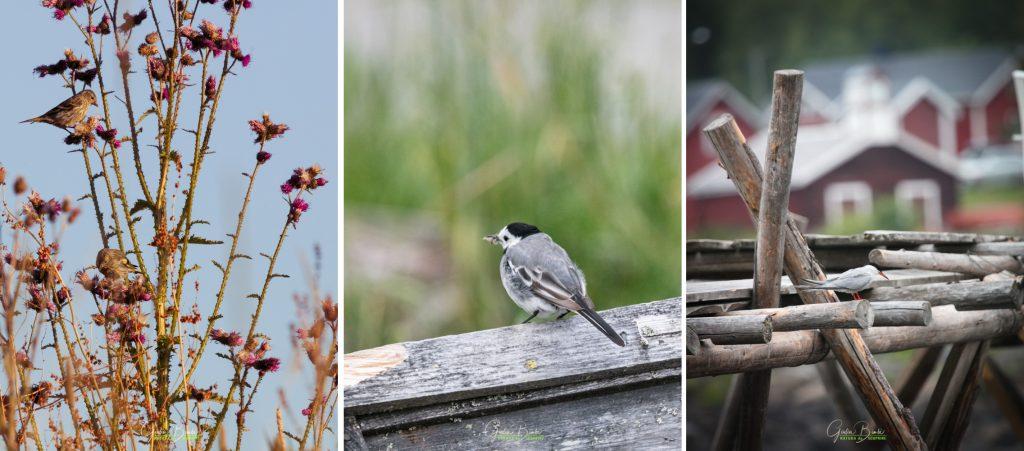 Viaggio di biowatching in Lapponia – Il risveglio della natura